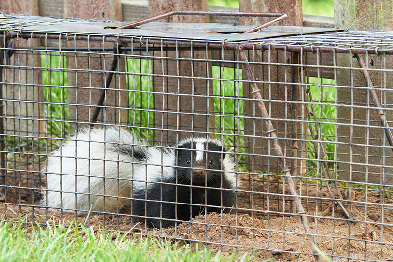 Photo of a skunk trapped in a cage for removal