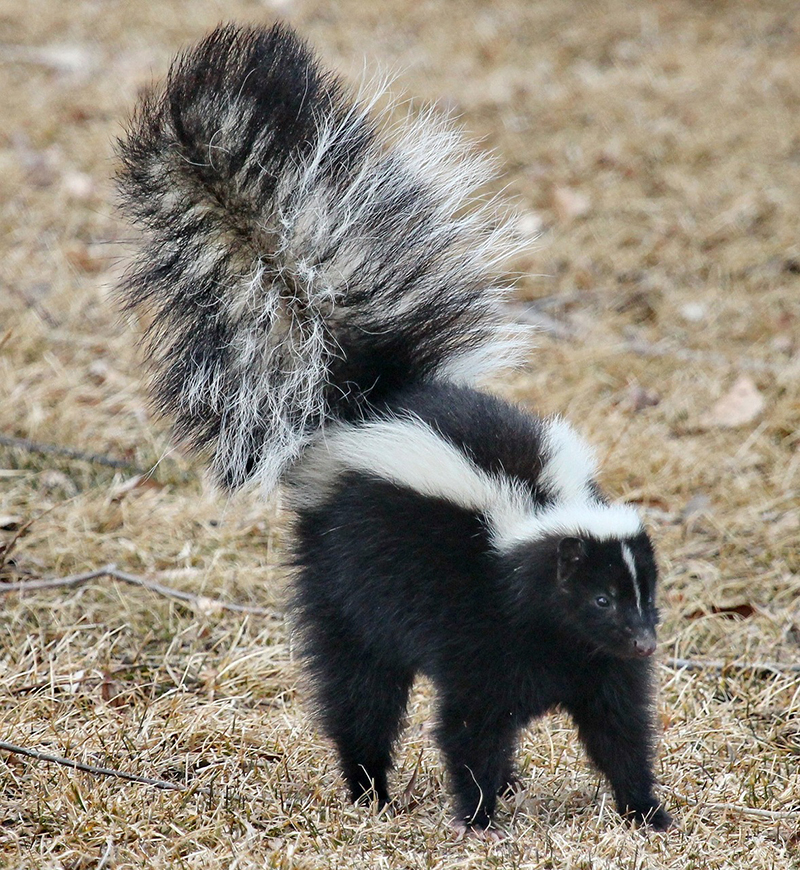 A photo of a skunk with its tail in the air